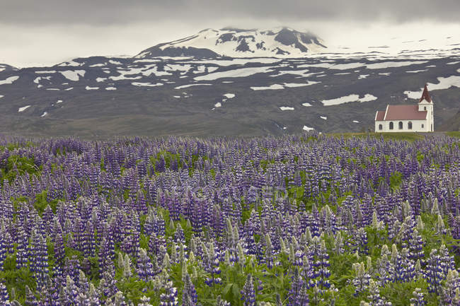 Ingjaldsholl Church in Lupines field near Hellissandur, Iceland — Stock Photo