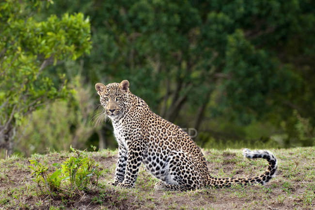 Adult female leopard sitting in grassland in Masai Mara Reserve, Kenya, East Africa — Stock Photo