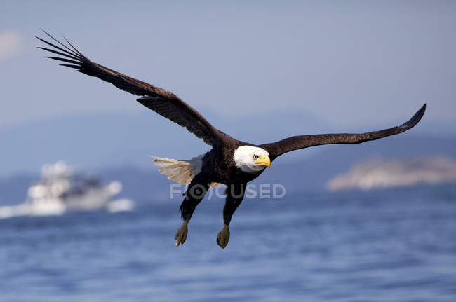 Bald eagle bird flying over seascape. — Stock Photo