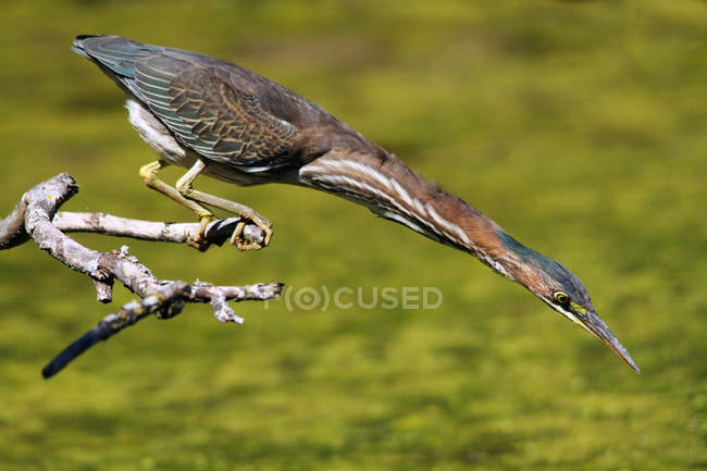 Green Heron on perch looking down and hunting in wetland. — Stock Photo