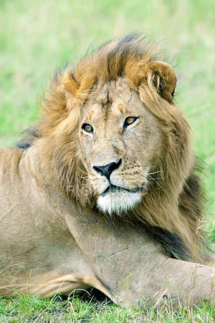 Portrait of resting African lion in natural habitat of Masai Mara Reserve, Kenya, East Africa — Stock Photo
