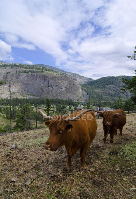 Cattle grazing in country landscape of Oliver, British Columbia, Canada. — Stock Photo