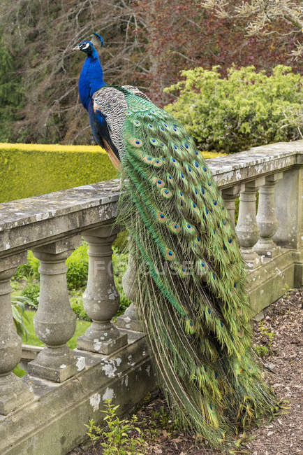 Peacock perched on stone fence at Hatley Castle, Colwood, British Columbia, Canada — Stock Photo