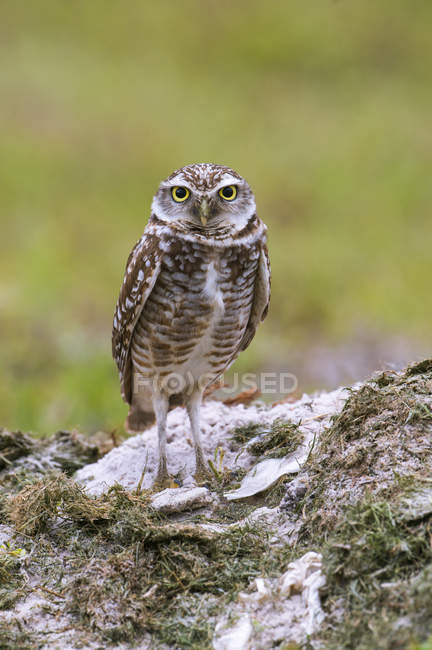 Burrowing owl sitting in sand in meadow, close-up. — Stock Photo