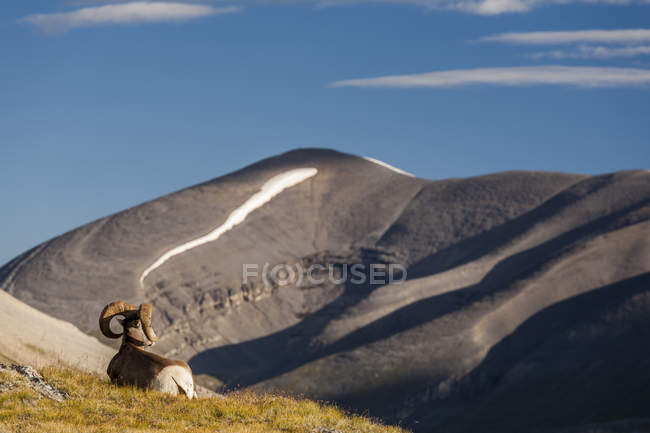 Bighorn sheep resting in Wilcox Pass, Jasper National Park, Alberta, Canada. — Stock Photo