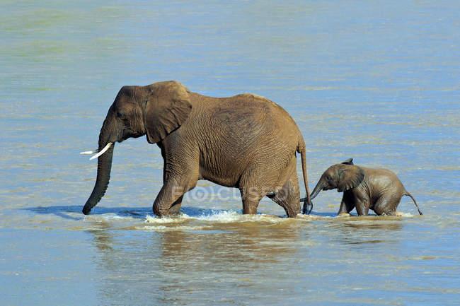 Африканський слон з теля, перетинаючи річку Ewaso Nyiro в Самбур Національний парк, Кенія, Східна Африка — стокове фото