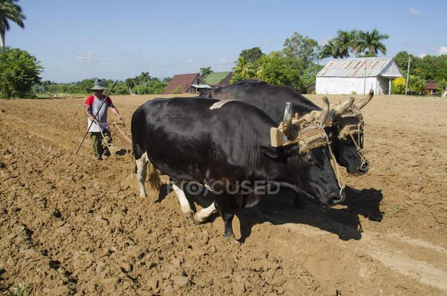 Bauern mit Ochsen Stiere in der Nähe von Vinales, Kuba Tabakfeld zu kultivieren — Stockfoto