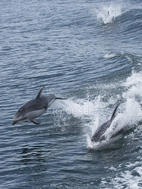 Pacific white-sided dolphins active in water of British Columbia, Canada — Stock Photo