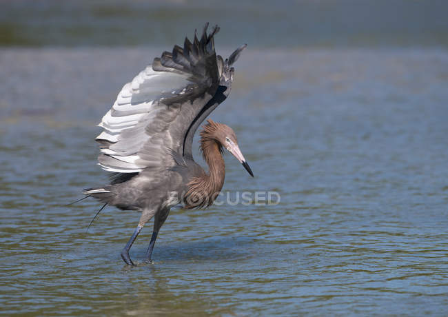 Reddish egret with wings outstretched walking in water — Stock Photo