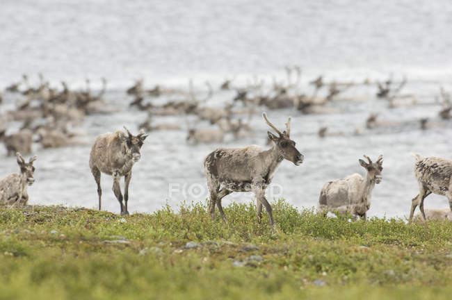 Herd of barren-ground caribous crossing river while summer migration at Northwest Territories, Canada — Stock Photo