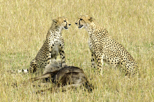 Гепардів з гну полюють на луг заповідника Масаї Мара, Кенія, Східна Африка — стокове фото