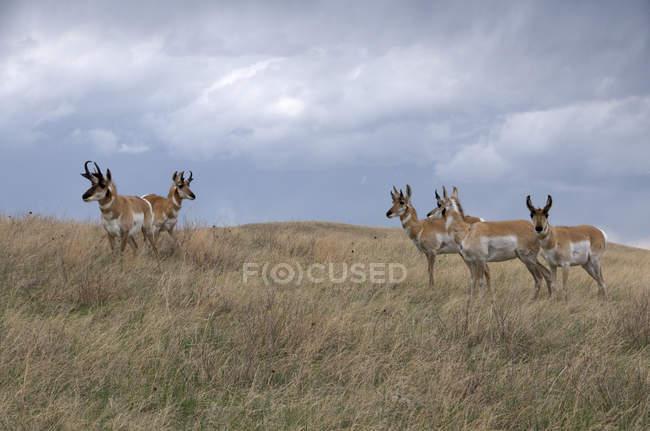Wild pronghorn antelopes in tall grass prairie of Custer State Park, South Dakota, USA — Foto stock