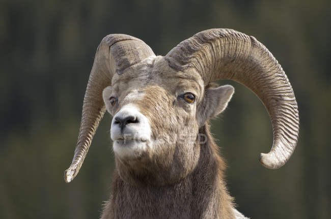 Portrait of bighorn sheep looking up outdoors. — Stock Photo