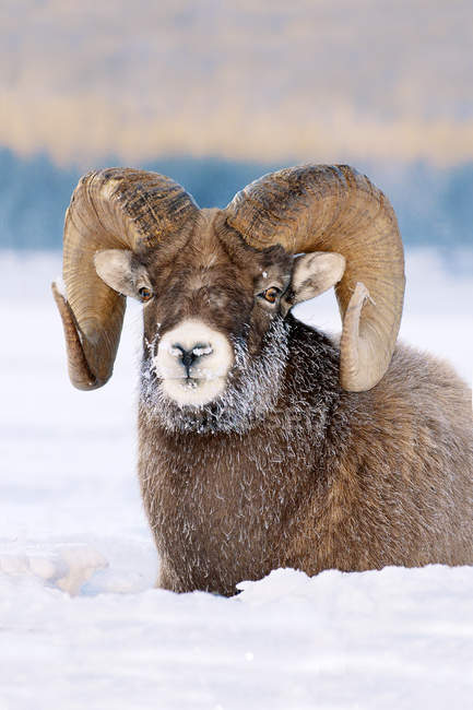Bighorn sheep ram with frost-covered muzzle resting in Jasper National Park, Alberta, Canada — Stock Photo