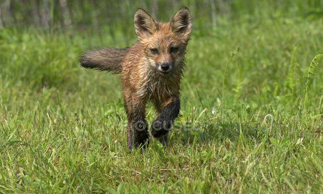 Front view of wet red fox kit running in green grass. — Stock Photo