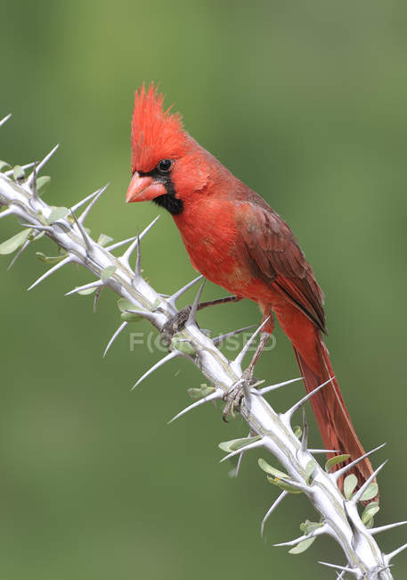 Northern cardinal perched on Ocotillo branch with thorns. — Stock Photo