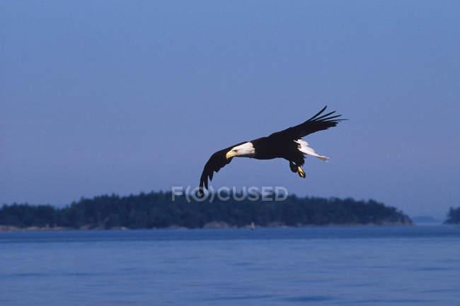 Білоголовий орлан птах летить над узбережжя Перської затоки острови, Британська Колумбія, Канада. — стокове фото