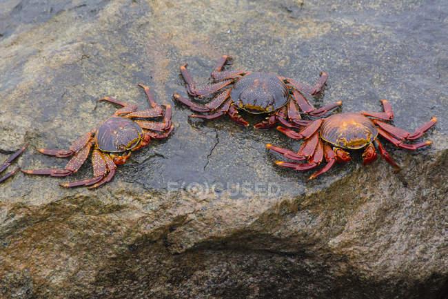 Seaside crabs at rocky Miraflores suburb, Lima, Peru — Stock Photo