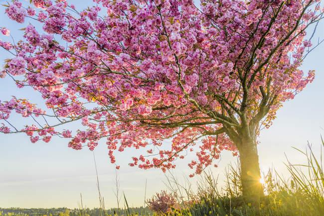 Вишневое дерево в цветущем Куртене, Британская Колумбия, Канада — стоковое фото