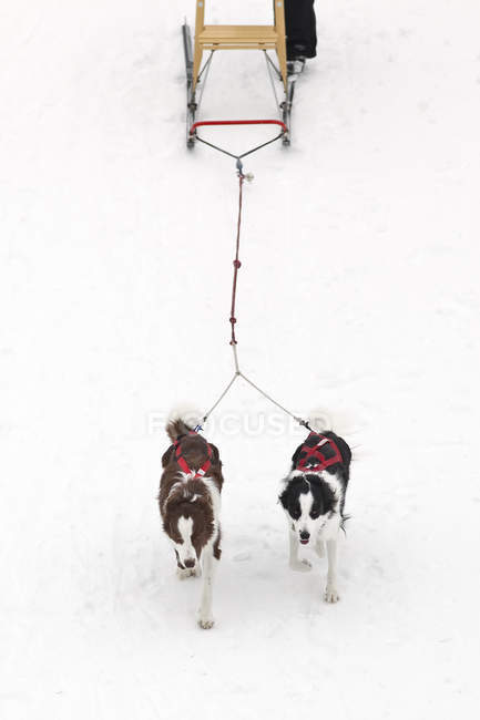 Dogs pulling kick sled, high angle view — Stock Photo