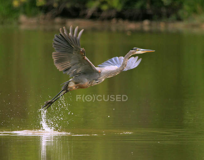 Great blue heron bird taking off from lake water surface. — Stock Photo