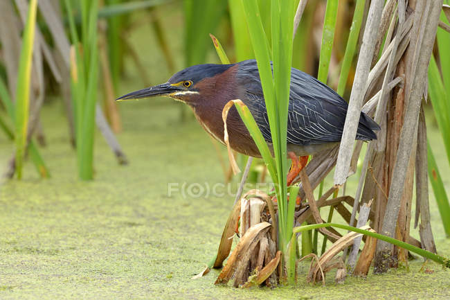 Green heron bird perching on plants in marsh. — Stock Photo