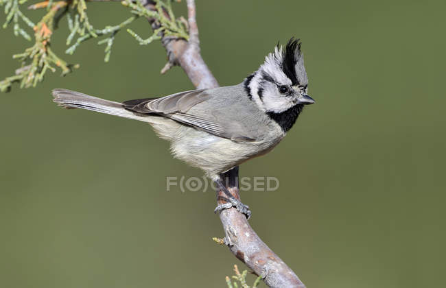 Imbrigliato titmouse su pesce persico nel bosco, close-up. — Foto stock