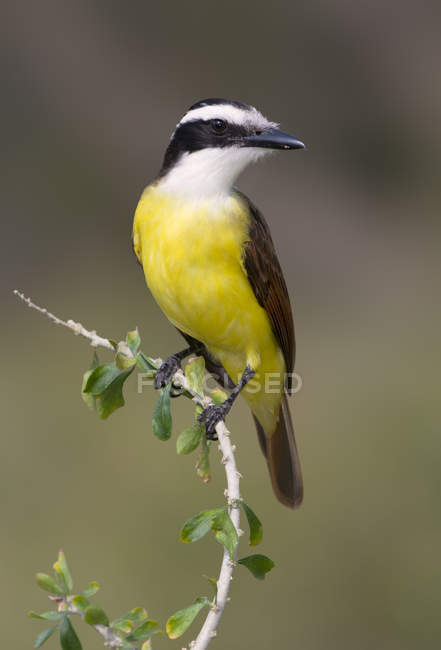 Great kiskadee bird perched on tree branch. — Stock Photo