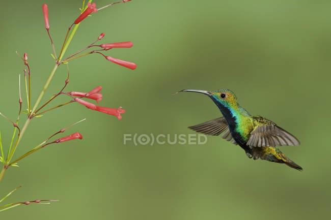 Чернозобая манго колибри летать во время кормления на цветы в Тринидаде и Тобаго. — стоковое фото