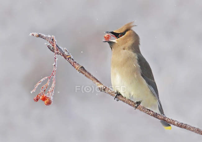 Cedar waxwing eating berries on tree perch in winter — Stock Photo