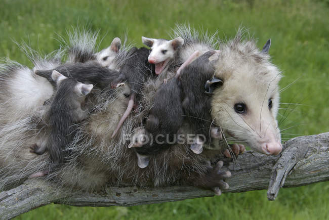Female opossum with clinging opossum joeys on tree branch in meadow — Stock Photo