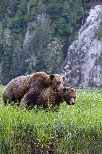Two grizzly bears mating in green meadow grass. — Stock Photo