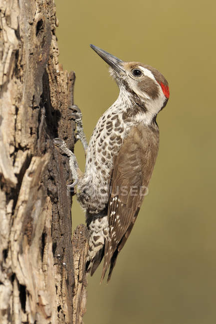 Male Arizona woodpecker pecking on dry tree trunk. — Stock Photo