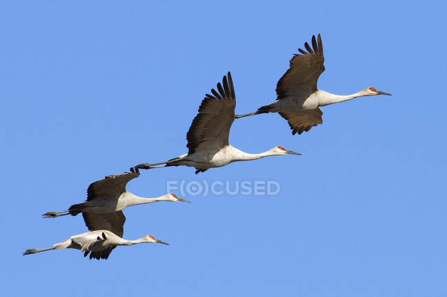 Kraniche fliegen in blauem Himmel — Stockfoto