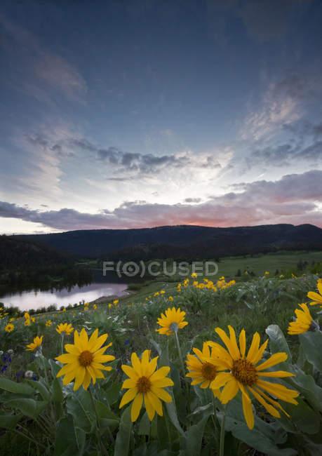 Весенние цветы balsamroot в Лак-дю-Буа лугопастбищных угодий вблизи Kamloops, Британская Колумбия, Канада — стоковое фото