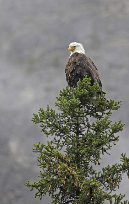 Bald eagle perched on conifer tree in forest. — Stock Photo