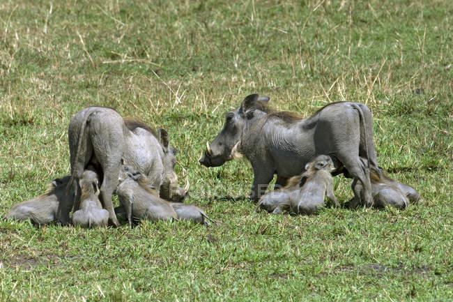 Бородавочника для годівлі поросят на зеленій траві в Африці — стокове фото
