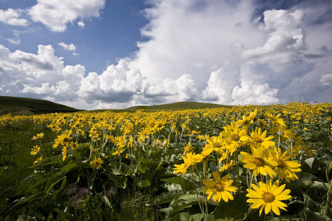 Arrowhead balsamroot flowers growing in Rocky Mountains foothills near Waterton Lakes National Park, Alberta, Canada. — Stock Photo