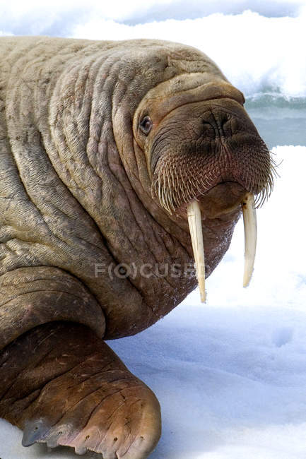 Bull Atlantic walrus loafing on pack ice, Svalbard Archipelago, Arctic Norway — Stock Photo