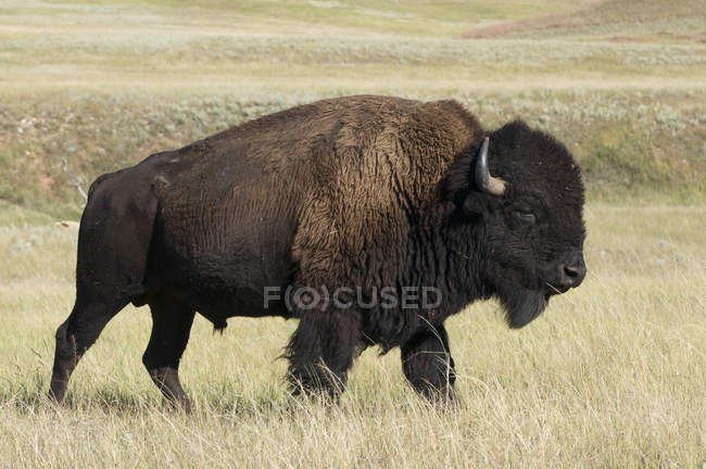 American bison bull walking in tall grass in Custer State Park, South Dakota, USA — Stock Photo