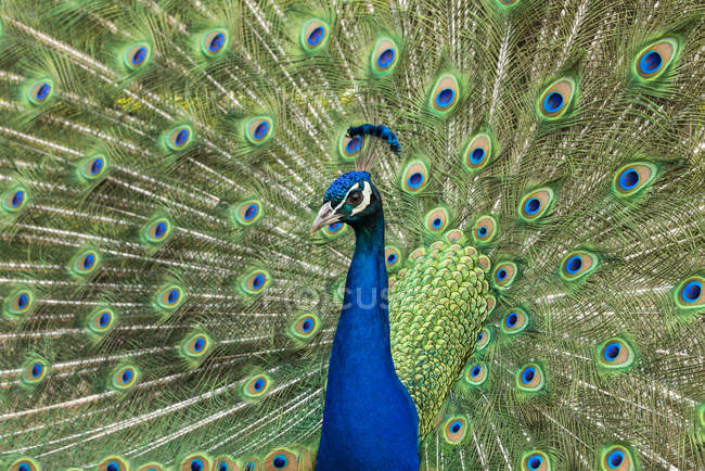 Peacock displaying colorful feathers in mating ritual. — Stock Photo