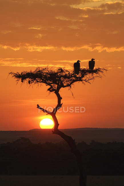 Lappet-faced vulture birds on acacia tree at sunset in Serengeti Plains, Kenya, East Africa — Stock Photo