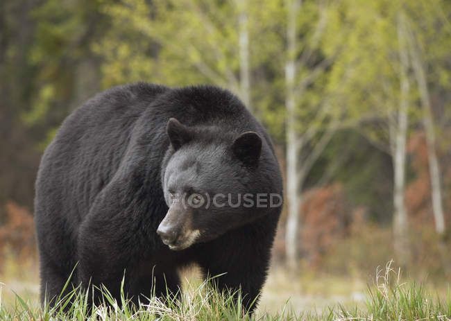 Black bear on meadow of Kootenay Plain, Alberta, Canada — Stock Photo