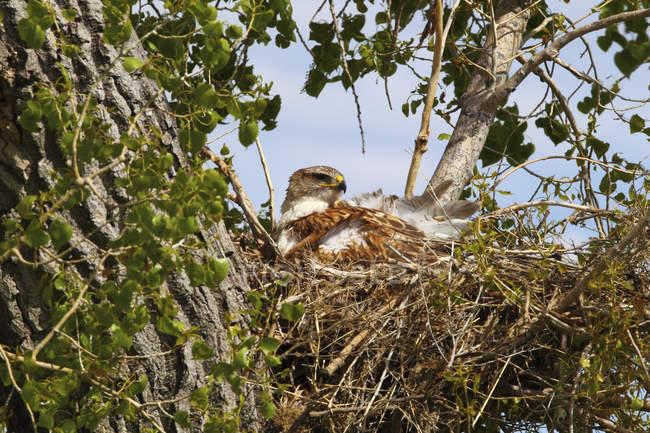 Eisenfalke sitzt im Nest auf Baum in saskatchewan, Kanada. — Stockfoto