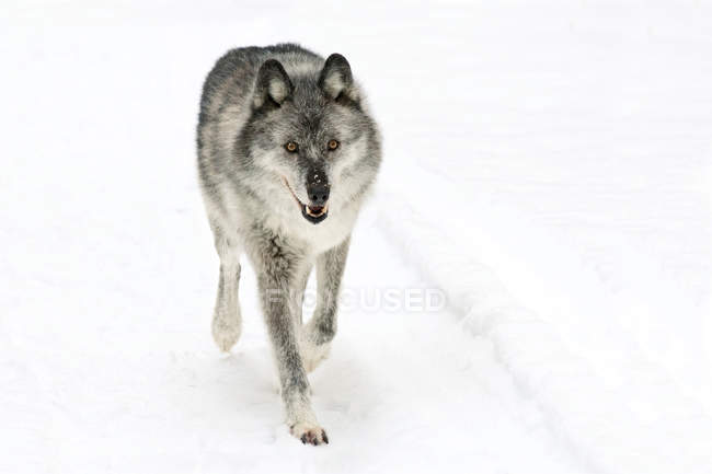 Adult female wolf walking on white snowy background. — Stock Photo