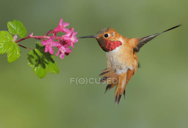 Männliche Kolibris ernähren sich von Blüten im Freien, Nahaufnahme. — Stockfoto