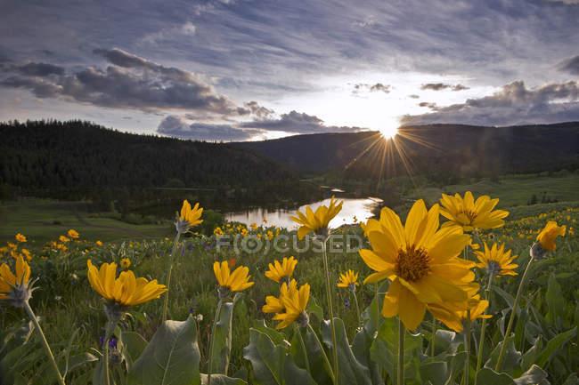 Spring balsamroot flowers in Lac Du Bois grassland near Kamloops, British Columbia, Canada — стоковое фото