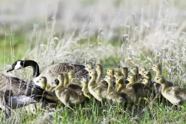Канада гусей і Гусенята ходьба на зелений Луці. — стокове фото