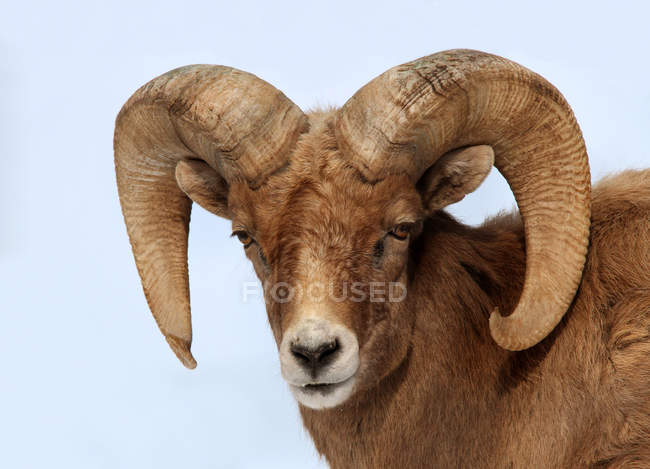 Portrait of bighorn sheep against plain background. — Stock Photo
