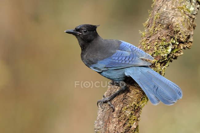 Piume blu l'uccello del jay Steller che si appollaia su lichene coperto ramo. — Foto stock